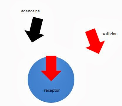 How caffeine causes fatigue